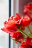 Красный крупный план тюльпана Стоковая Фотография