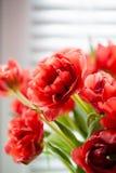 Красный крупный план тюльпана Стоковое Изображение RF
