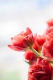 Красный крупный план тюльпана Стоковые Фото