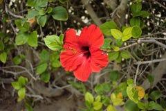 Красный крупный план цветка Стоковая Фотография
