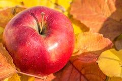 Красный крупный план яблока на листьях осени Стоковые Фото