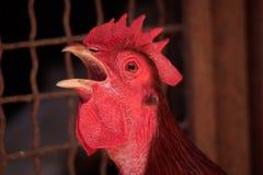 Красный кукарекать петуха стоковые фото