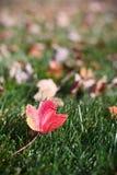 Красный кленовый лист, как раз упаденный в осень стоковое изображение