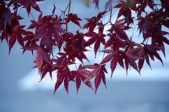 Красный кленовый лист, предпосылка дерева клена запачканная Стоковое Изображение