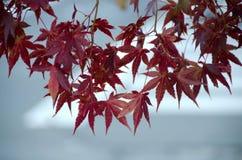 Красный кленовый лист, предпосылка дерева клена запачканная Стоковые Изображения RF