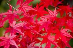 Красный кленовый лист, предпосылка дерева клена запачканная Стоковая Фотография RF
