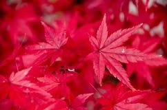Красный кленовый лист, предпосылка дерева клена запачканная Стоковые Изображения