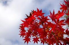 Красный кленовый лист, предпосылка дерева клена запачканная Стоковые Фотографии RF