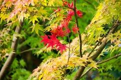 Красный кленовый лист, предпосылка дерева клена запачканная Стоковое фото RF