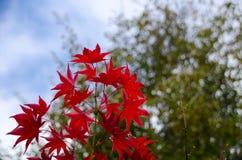 Красный кленовый лист, предпосылка дерева клена запачканная Стоковая Фотография