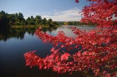 Красный клен в осени Стоковые Изображения RF