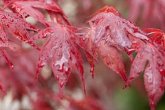 Красный клен после дождя Стоковые Фотографии RF