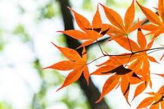 Красный клен Стоковое Фото