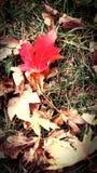 Красный клен Стоковое фото RF