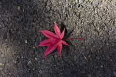 Красный клен Стоковые Изображения