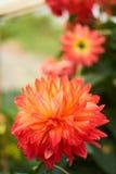 Красный лотос любит цветене цветка Стоковая Фотография RF
