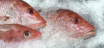 Красный люциан рыбного базара на льде стоковая фотография