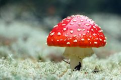 Красный макрос гриба мухомора Стоковое фото RF