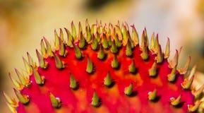 Красный макрос кактуса шиповатой груши Стоковое Фото