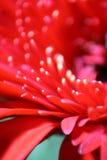 Красный макрос маргаритки Gerbera Стоковые Фотографии RF