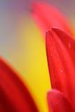 Красный макрос маргаритки Gerbera Стоковое Изображение RF