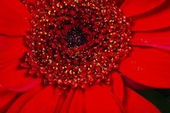 Красный макрос маргаритки Gerbera Стоковые Фото