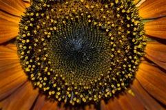 Красный макрос семян подсолнуха стоковое изображение