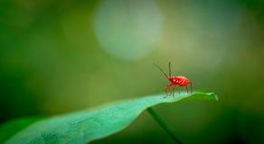 Красный макрос черепашки Стоковая Фотография