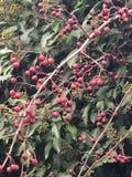 Красный макрос ягод в дереве стоковое изображение