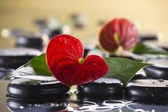 Красный макрос calla лежит на черных камешках стоковые фотографии rf