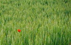 Красный мак в зеленом английском поле Стоковое Изображение