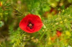 Красный мак в одичалом поле на временени Стоковые Изображения