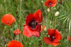 Красный мак в поле Стоковая Фотография