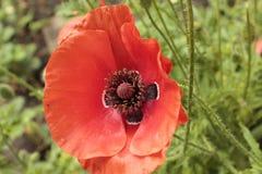 Красный мак, в саде лета Стоковые Фото
