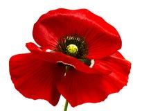 Красный мак изолированный на белой предпосылке Красный мак Beautif Стоковые Изображения RF
