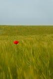 Красный мак и зеленое поле стоковые изображения rf