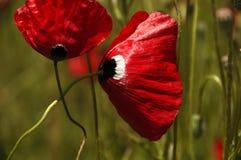 Красный мак качанный нежно в ветре стоковое фото rf