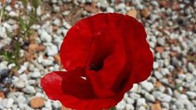 красный мак на белом камешке стоковое изображение rf