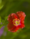 Красный мак на зеленой предпосылке Стоковое Фото