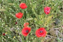 Красный мак на поле Стоковые Фотографии RF