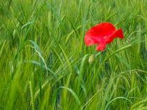 Красный мак на пшеничном поле стоковые изображения rf