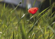 Красный мак отдыхая в зеленом поле стоковые фото
