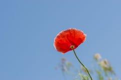 Красный мак против голубого неба Стоковая Фотография