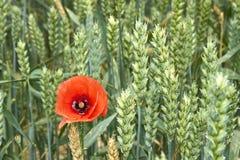 Красный мак среди зреть пшеница стоковые фото