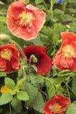 Красный мак, с белыми и черными тычинками, в саде Стоковая Фотография