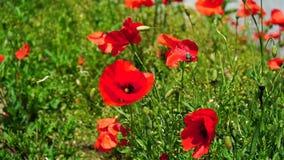 Красный мак цветет в близко Мюнхена в Баварии Германии Ветер нежно играет с ними Slowmotion видео Природа сток-видео