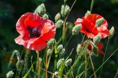 Красный мак цветет, rhoeas мака, с канереечной травой стоковая фотография