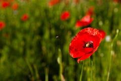 Красный мак Стоковые Фотографии RF