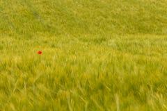 Красный мак стоковые изображения