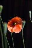 Красный мак Стоковая Фотография